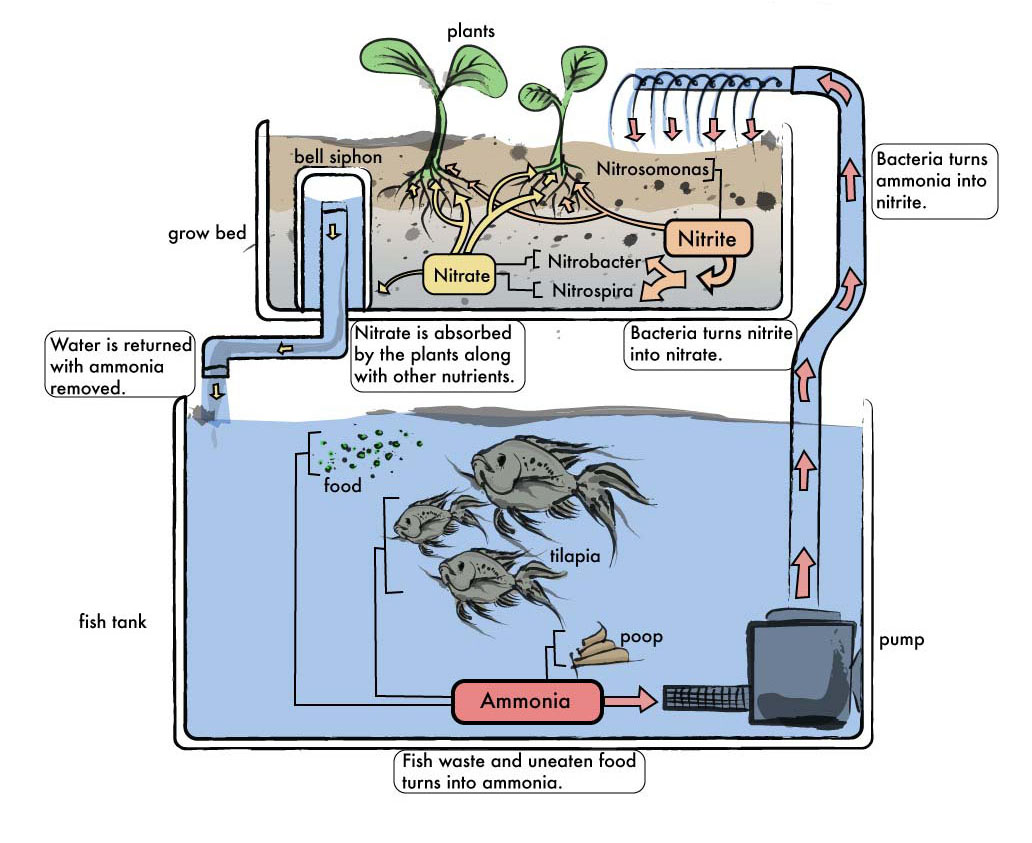 Aquaponics Nitrogen Cycle Diagram